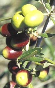 cv coratina p