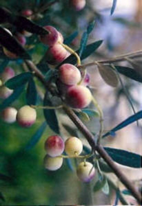 cv biancolilla 2