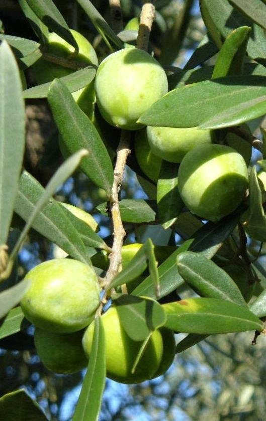 cv cipressino
