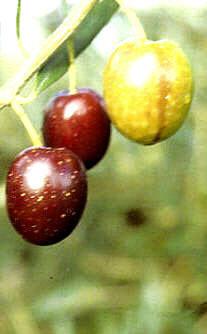 cv nocellara etnea p