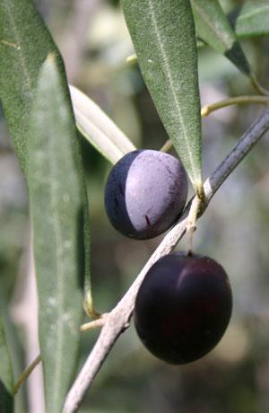 cv olivastra seggianese 2
