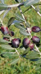 cv olivo da olio p
