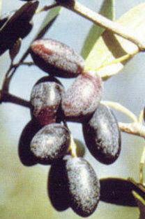cv ottobratica p