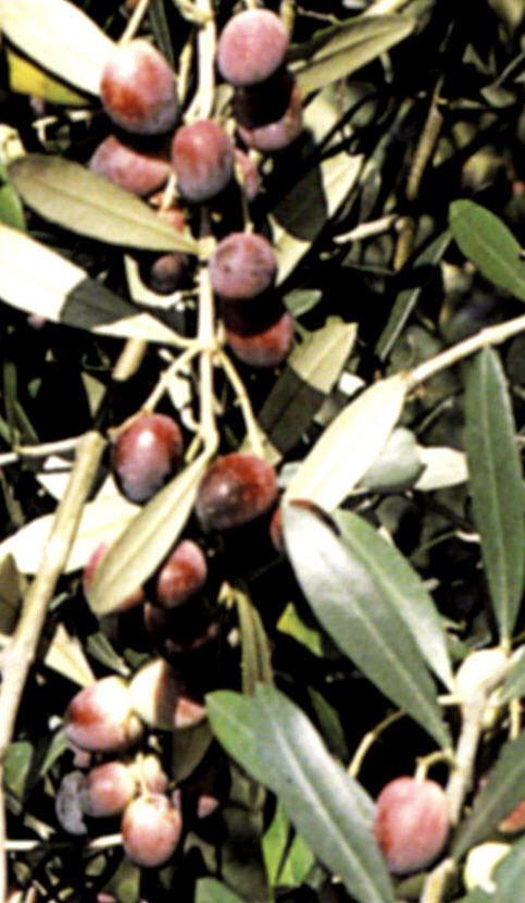 cv rosciola p